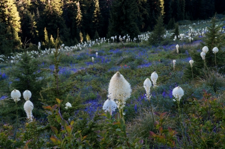 Bear Grass Field