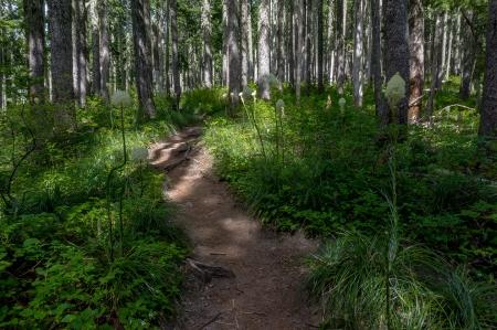 Forest Bear grass