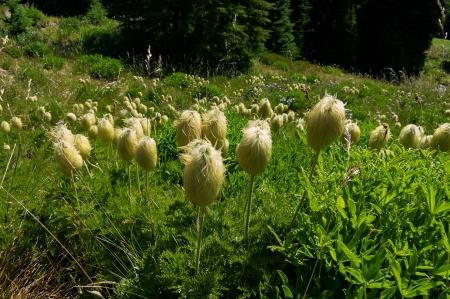 02 Pasque Flowers