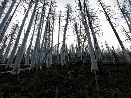 60 white trees