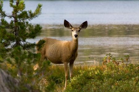 Ardeth Lake Mule Deer