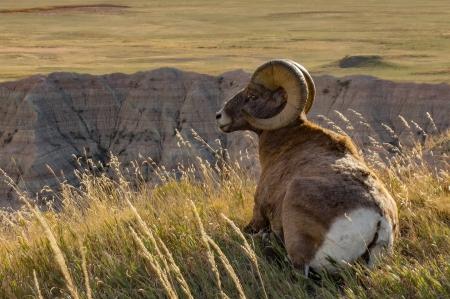 Big Horn Sheep Bandlands National Park 4 by 6