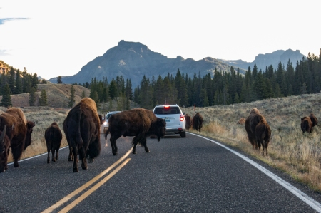 Bison crossing Yellowstone
