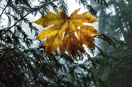 Anns Yellow Leaf