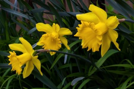 IMG_4286 daffodil