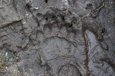 bear print from Charles