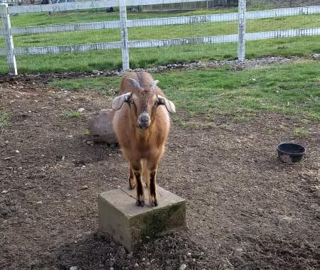 IMG_20190302_163555070 goat